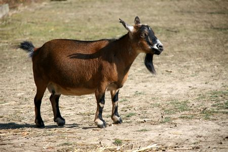 billy goat: Goat in a farm