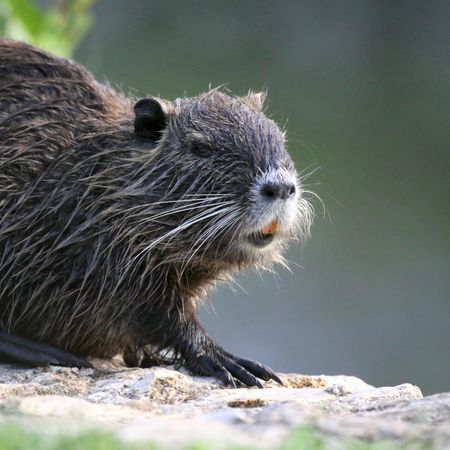 Coypu in close-up