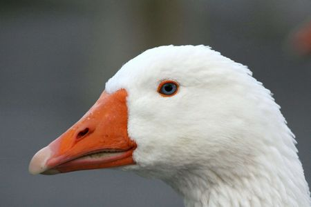 Close-up of a goose with the blue eyes photo