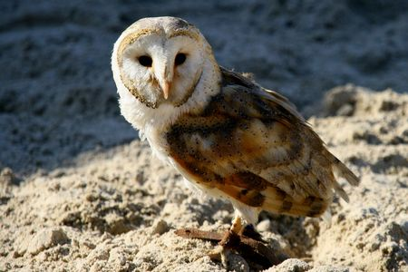 Barn owl in observation photo