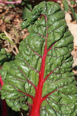 sector: Leaf of rhubarb Stock Photo