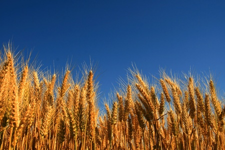 wheat fields: Field of cereal in the French countryside Stock Photo