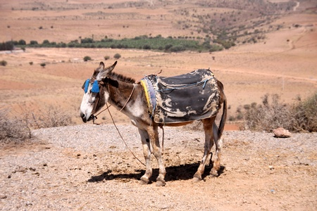 Donkey for hike in the desert photo