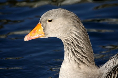 Goose in close-up photo
