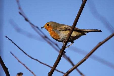 Robin in winter photo