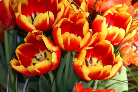 offered: Tulips to be offered Stock Photo