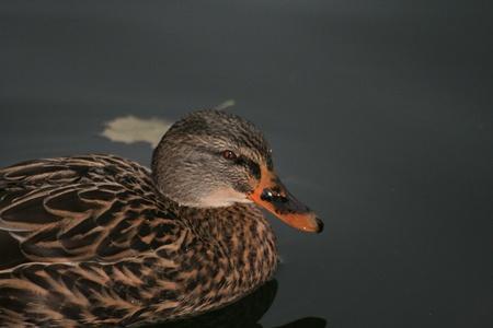 Duck mallard photo