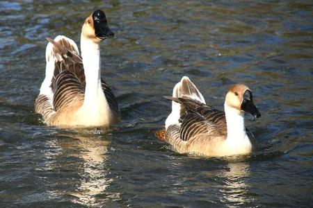 Goose of guinée photo