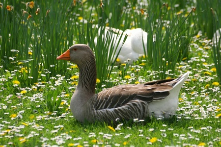 Goose in spring photo