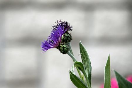 Flower of cornflower Stock Photo
