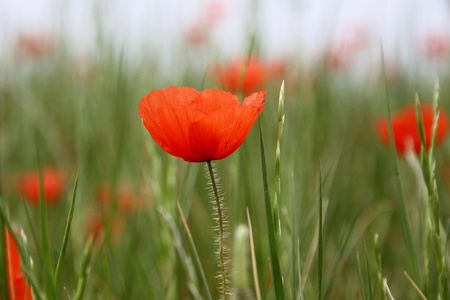 moderation: Flowers of poppy in detail Stock Photo