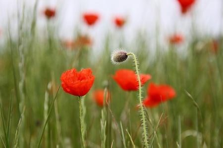 poppy seeds: Flowers of poppy in detail Stock Photo