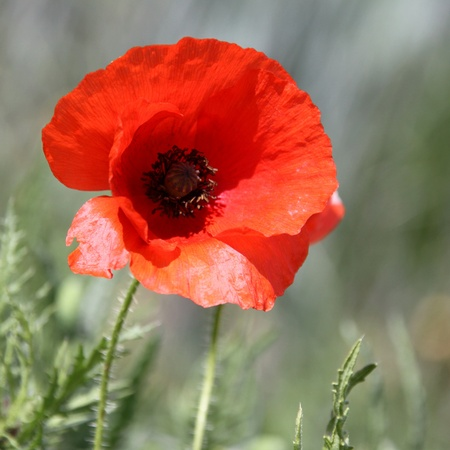 Flowers of poppy in detail Stock Photo