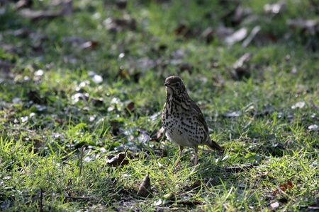 Thrush in the forest photo
