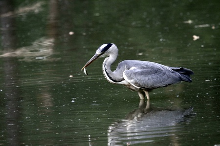 Grey heron with a fish photo