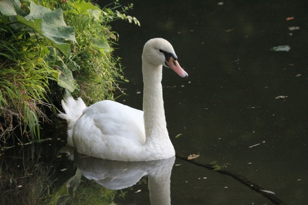 White swan on a river photo
