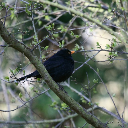 Blackbird on a branch Stock Photo - 9812105