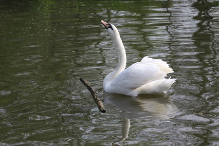 Swan on the banks of the yerres photo