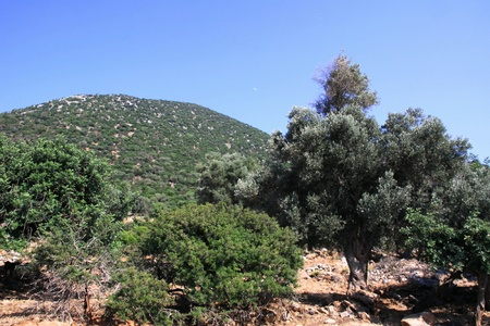 Field of olive trees on the north coast of Crete photo