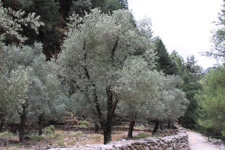 mount of olives: Landscape of mountain in Crete with fields of olive trees