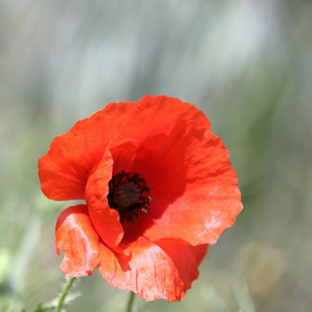forest tea: Poppy in close-up