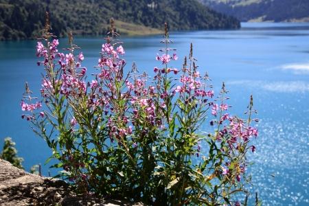 angustifolium: Vegetation in Savoy - Epilobe, Chamerion angustifolium