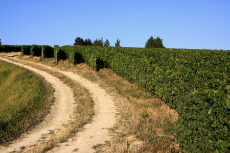 Vineyards in the French countryside photo