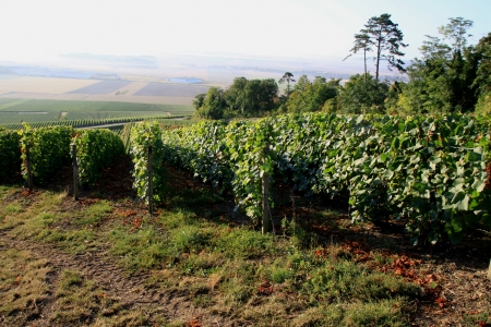 tastevin: Vineyards in the French countryside