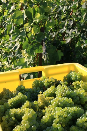 Grape harvests in the French vineyard photo