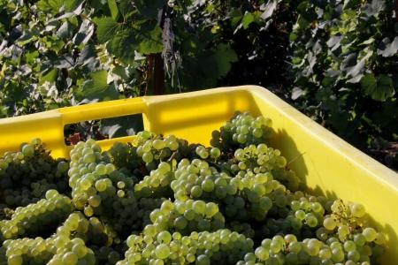 tastevin: Grape harvests in the French vineyard