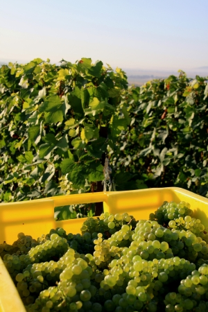harvests: Grape harvests in the French countryside Stock Photo
