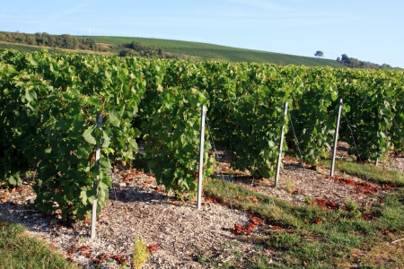 champagne region: Grape harvests in the French countryside Stock Photo