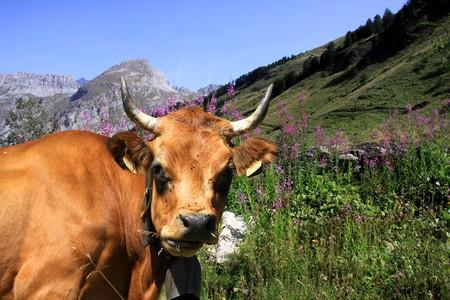 Savoyard cow