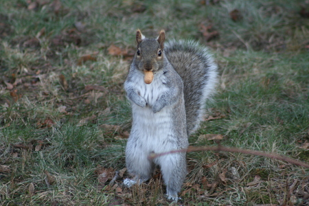 apprehensive: Grey Squirrel Standing; Get Youre Own Peanut!