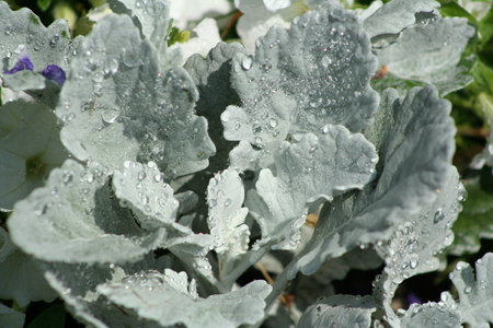 miller: Dew Drops on Silver Foliage Dusty Miller