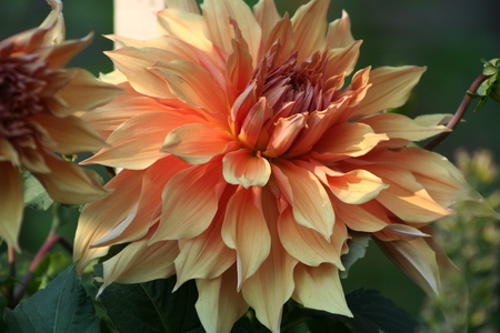 Apricot Dahlia Stok Fotoğraf
