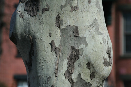 beech tree beech: Trunk of Beech Tree, Shedding Bark