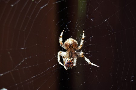 araneidae: Orb weaver spider eating lady bug on spider web outside by fence Stock Photo