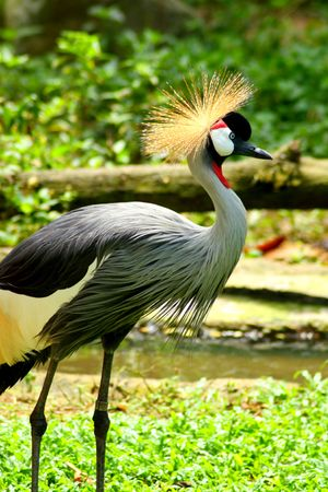A crown crane from side view Stock Photo - 5409340