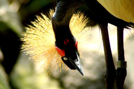 A crown crane from side view close up photo