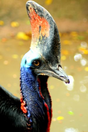 Beautiful Doublewattled Cassowary Bird Close Up photo