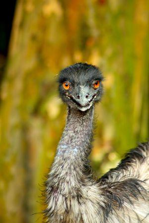 Beautiful Proud Emu Looking Straight At Camera photo