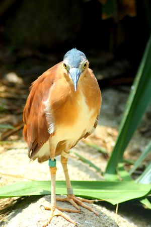 Curious brown bird with blue head looking at camera photo