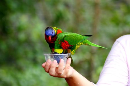 Beautiful Cute Little Lory Bird  photo