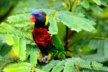 Beautiful Cute Little Lory Bird Hiding On Tree  Stock Photo