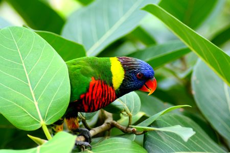 Beautiful Cute Little Lory Bird Hiding On Tree  photo