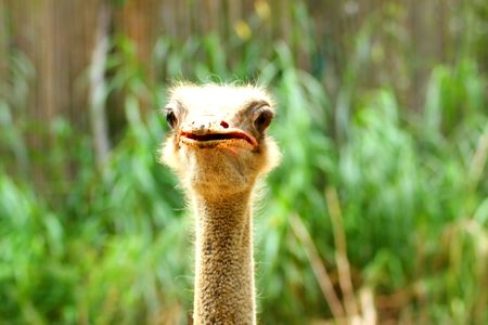Head On With Cuus Hairy Ostrich Stock Photo - 5409307