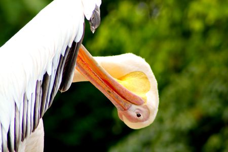 Funny White Pelican Scratching Wings Close Up Banque d'images