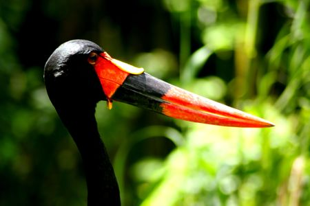 Saddle Billed Stork Close Up Of Beak photo