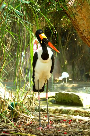 Saddle Billed Stork full length photo